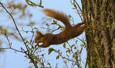 Red Squirrel balancing in the trees