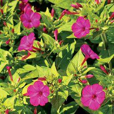 Four O'Clock 'Limelight' heirloom flower seeds. Zones 8-10