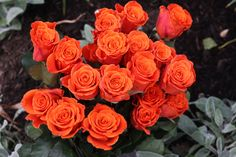 New Varieties of Roses - For My Friends In Chicago Rose Varieties, Special Day, Bouquets, Roses, Wedding Ideas, Flowers, Plants, Bouquet, Pink