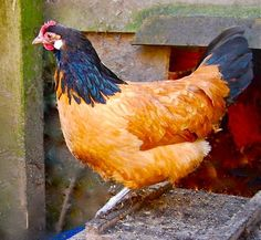 """Vorwerk hen Quick to mature. """"Very prolific"""" egg layer; winter layer Happy in confinement Fancy Chickens, Keeping Chickens, Chickens And Roosters, Raising Chickens, Chickens Backyard, Raising Goats, Chicken Bird, Chicken Eggs, Beautiful Chickens"""