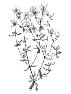 Image result for st johns wort drawing black and white