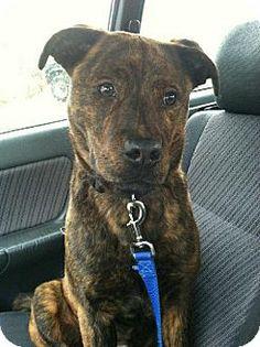 Gone  Harriman, TN - Labrador Retriever/Plott Hound Mix. Meet Jeff a Dog for Adoption.