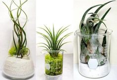 Laboratory Air Plant Terrarium Set Three Air Plant by Plantzilla, $42.00