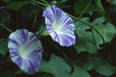 Morning Glory (Ipomoea Tricolor Flying Saucers) - What a spectacular sight! Grown from Morning Glory seeds, this Flying Saucers Morning Glory variety is a fast growing vine shooting up to 180 inches, and it has huge 5 inch blossoms of sky blue wit. Morning Glory Vine, Morning Glory Flowers, Morning Glories, Fast Growing Vines, Fruit Seeds, Seeds For Sale, Annual Flowers, Flying Saucer, Flower Seeds