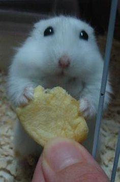 adorable hamster