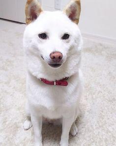 チョコが  くまさん🐻のぬいぐるみを  持ってきたよ。  遊んでほしいんだって。 少しだけだよ。  母ちゃん もう寝るよ💤。 今朝は 沢山のコメントと ありがとうございました。  沢山 寝てスッキリしました。  父ちゃんが インスタ見て 驚いて😲いました。  みんな 親切で 優しいな〰😍。 今日は、寝てばかりでしたZzz。  おやすみなさい💤。 #shiroshiba#shibainu#dog#mameshiba#シバ#シバケン#シバイヌ#シロシバ#マメシバ#ワンコ#チョコ#しばいぬ#しろしば#しばけん#まめしば#しばわんこ#しばいぬだいすき#わんちゃん🐶#ちょこ#柴犬#白柴犬#日本犬#豆柴#多頭飼い#多頭#柴犬大好き#柴犬マニア#柴犬だいすき by chiro_and_choco