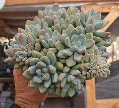 Sedeveria 'Blue Giant'.  photo from The Succulent Source