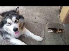 Un gros Husky effrayé par un petit chaton