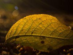 Last Light by Aleksi Lausti on Plant Leaves, Plants, Plant, Planets