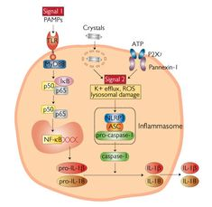 NLRP3 Inflammasome activation