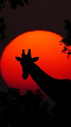 Giraffe silhoutted by red sun Snow Pictures, Wolf Pictures, Silhouette Art, Giraffe Silhouette, Silhouette Pictures, Giraffe Pictures, Shadow Painting, Autumn Scenes, Prehistoric Animals