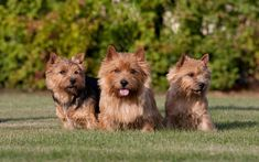 Download wallpapers Cairn Terrier, 4k, pets, cute animals, dogs, Cairn Terrier Dog