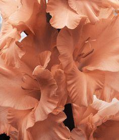 Peach gladiola