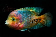 Colorful South American Cichlids | ... cichlids are a perfect case for two things why cichlids are a niche