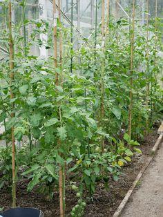 601 beste afbeeldingen van tomato garden in 2019 tomato for Diana tuin