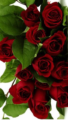 Rose Flower Wallpaper, Flowers Gif, Exotic Flowers, Pretty Flowers, Very Beautiful Flowers, Beautiful Flowers Wallpapers, Amazing Flowers, Red Rose Bouquet, Red Rose Flower