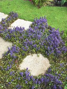 """This colorful groundcover will grow in shade or sun with slightly moist soil. It is an evergreen with purplish rosettes that spread quickly on priplish stems. Blue bloom spikes cover these plants in April and May, and are 6-8"""" when blooming. This versatile groundcover can also be used in shady wildflower beds. water wise"""