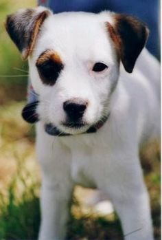 Spot, this is why I have. Jack russel.