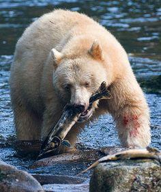 "A white black bear, often called a ""spirit bear"""