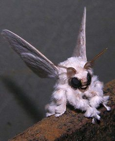 "A Poodle Moth is probably a hoax gang. There is no further information about it and although there are some photos of the ""Muslin Moth"" suggesting tha they are the same species, they are not! A close look and you can see obvious differences between the two/"
