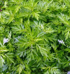 Got a mugwort problem? Don't be quick to eradicate this plant from your garden—it has many benefits, as well.
