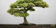 Erable trident (Acer Buergerianum)
