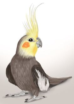 Cockatiel is a family member of Cockatoo and are mostly found in Austrailia. They are regarded as good pets bird having good sound. If you want to draw Cockatiel bird follow our tutorial step by step for the perfect picture.