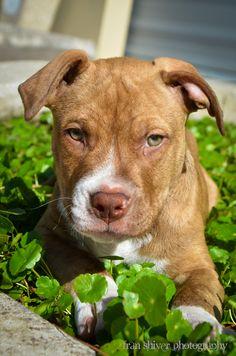 Ruger - American Staffordshire Terrier, 11 weeks old