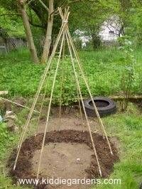 bean teepee ready to grow