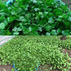 Hasat zamanı!!! Maydonozlar yerine veda edip salatalarımızı süslemek üzere mutfağımıza merhaba diyor!