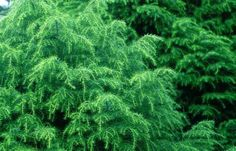 cryptomeria | CRYPTOMERIA JAPONICA ELEGANS VIRIDIS Georgia, Trees, Backyard, Plants, Patio, Tree Structure, Backyards, Plant, Wood