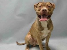 Brooklyn Center DAVID – A1073736 MALE, BRN / WHT, AM PIT BULL TER MIX, 1 yr, 6 mos STRAY – STRAY WAIT, NO HOLD Reason STRAY Intake condition UNSPECIFIE Intake Date 05/14/2016, From NY 11208, DueOut Date 05/17/2016, Urgent Pets on Death Row, Inc