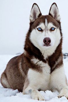 The most incredible gorgeous Dog Siberian Husky Browned Blued Eyes - Snow