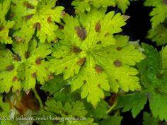 Geranium monacense Claudine Dupont