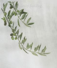 Olea europaea – Olive Branch Watercolor on Cowley's Classic calfskin vellum 12″H x 9″W Original available, framed in custom gold frame and handmade french mat