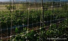 para mejorar la fitosanidad, ahorar en agroquimicos y cosechar mayores cantidades y de mayor tamaño entutorar con HORTOMALLAS es una necesidad