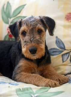 Looks just like my Airedale puppy from years ago… Phoebe Wallingford. Airedale Terrier, Terrier Galés, Welsh Terrier, Terrier Breeds, Wire Fox Terrier, Dog Breeds, White Terrier, Cute Puppies, Cute Dogs