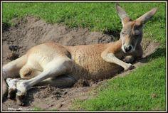 Luie kangoeroe
