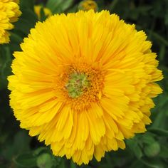 RINGBLOMMA 'Greenheart Yellow' | |