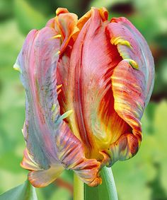 Look what I found on #zulily! Parrot Tulip Blumex Bulb - Set of 18 by Michigan Bulb Company #zulilyfinds