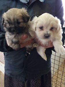 Argentina Dogo Pups Ready To Go Mississauga Peel Region