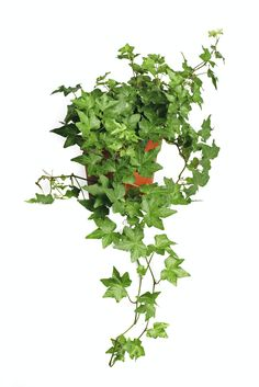 Certain types of ivy plants contain triterpenoid saponins and polyacetylene compounds. When ingested by pets, the irritant within the plant can cause excessive drooling, vomiting and diarrhea. Ivy Plant Indoor, Best Indoor Plants, Types Of Ivy, Best Air Purifying Plants, Natural Air Purifier, Hedera Helix, Ivy Plants, Interior Exterior, Interior Plants