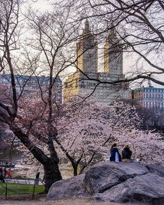 Central Park on Sunday afternoon. The cherries are in full bloom.