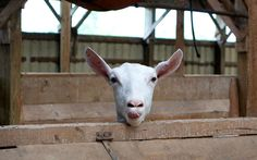 Photo and Video Gallery - Lively Run Goat Dairy Cheese Maker, Cheese Tasting, Finger Lakes, Goat Cheese, Farm Life, Agriculture, Goats, Places To Go, Dairy
