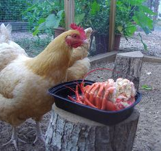 Treats for chickens - and more importantly, what not to feed them (@ bottom of page)