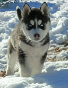 Mishka the Siberian Husky
