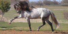 Durante o Renascimento, o cavalo Andaluz era considerado um cavalo de prestígio, utilizado na alta escola. Nos dias de hoje, o cavalo Andaluz é utilizado em adestramento clássico e em adestramento de competição e em touradas. Também é apreciado como cavalo de espectáculo.