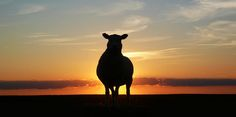"""De Heere is mijn Herder Psalm 23 twijfel, onrust, angst - John Psalm 23 - Psalm """"I have gone astray like a lost sheep: seek thy servant; for I have not forgotten thy commandments"""". Sheep Silhouette, Animal Silhouette, Ria Formosa, Sheep And Lamb, Lord Is My Shepherd, Holy Week, Psalm 23, North Sea, Lutheran"""