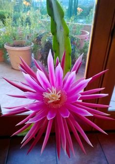 Night Blooming Cactus (at my mother-in-law's house)