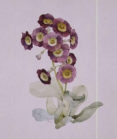 Sarah Creswell, Auricula. Favourite flower of the Huguenots.